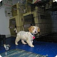 Adopt A Pet :: Dudda - Mt Gretna, PA