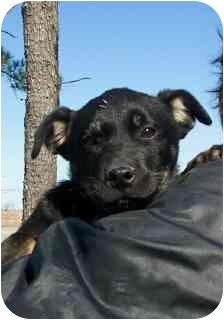 German Shepherd Dog/Labrador Retriever Mix Puppy for adoption in Osceola, Arkansas - Pearl