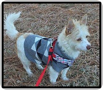 Westie, West Highland White Terrier Mix Dog for adoption in Hampton, Virginia - Ozzie