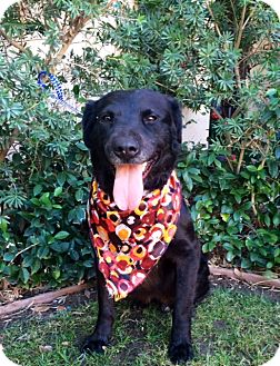 Flat-Coated Retriever Mix Dog for adoption in Irvine, California - PAULY
