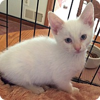 Adopt A Pet :: Mai Tai - Acme, PA