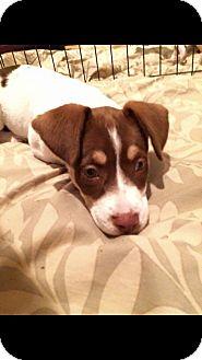 Beagle/Brittany Mix Puppy for adoption in Albemarle, North Carolina - Marley