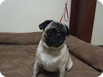 Pug Dog for adoption in Gridley, California - Tillie