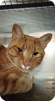 Domestic Shorthair Cat for adoption in Trevose, Pennsylvania - Cheddar