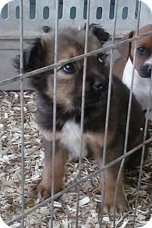 Australian Shepherd/Sheltie, Shetland Sheepdog Mix Puppy for adoption in Staunton, Virginia - Rosie