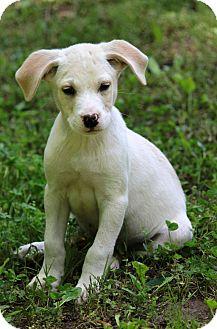 Labrador Retriever Mix Puppy for adoption in Waldorf, Maryland - Merritt
