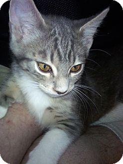 Domestic Shorthair Kitten for adoption in North Highlands, California - Babu