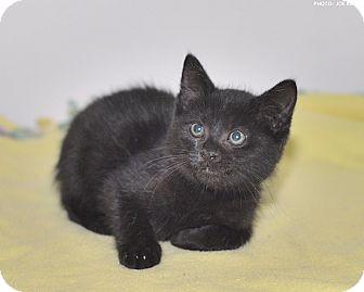 Domestic Shorthair Kitten for adoption in Medina, Ohio - Wrangler