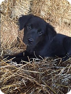 Labrador Retriever Mix Puppy for adoption in Hamburg, Pennsylvania - Slater