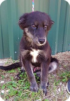 Shepherd (Unknown Type)/Australian Shepherd Mix Puppy for adoption in Smithtown, New York - Yogi