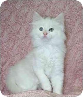 Domestic Longhair Kitten for adoption in Ladysmith, Wisconsin - Oscar
