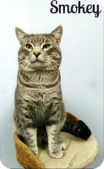 Domestic Shorthair Cat for adoption in Laplace, Louisiana - Smokey