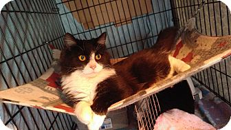 Domestic Shorthair Cat for adoption in Clarkson, Kentucky - Dejavu