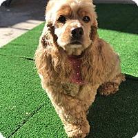 Adopt A Pet :: Maddison - San Diego, CA