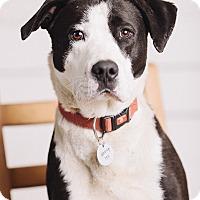 Adopt A Pet :: Gibson - Portland, OR