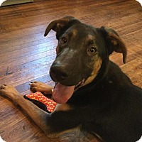 Adopt A Pet :: Atticus - Rockville, MD