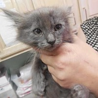 Adopt A Pet :: Razorback - Morgan Hill, CA