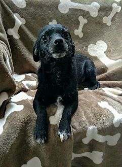 Chihuahua/Dachshund Mix Dog for adoption in West Springfield, Massachusetts - Timmy