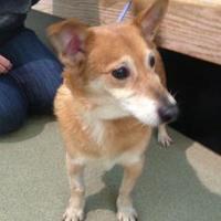 Corgi Mix Dog for adoption in Palatine, Illinois - Samson