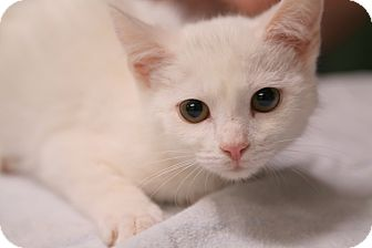 Domestic Mediumhair Kitten for adoption in Spring Valley, New York - Arctic