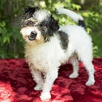 Adopt A Pet :: Bugsy--Spunky little terrier boy-N - Santa Fe, TX