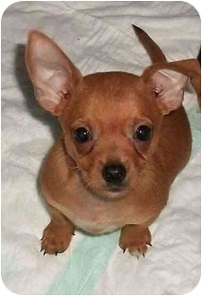 Yorkie, Yorkshire Terrier Mix Puppy for adoption in Mountain Home, Arkansas - Shaggy