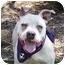Photo 1 - Pit Bull Terrier Puppy for adoption in San Diego, California - Frannie