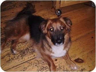 Corgi/Sheltie, Shetland Sheepdog Mix Dog for adoption in Stafford Springs, Connecticut - Ziva