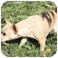 Photo 1 - Chihuahua Mix Dog for adoption in Yuba City, California - Ali