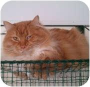 Domestic Longhair Cat for adoption in Anchorage, Alaska - Fantasia