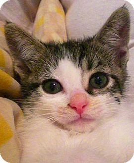 Domestic Shorthair Kitten for adoption in Narberth, Pennsylvania - Laredo