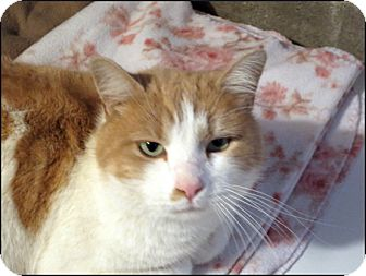Domestic Shorthair Cat for adoption in Colville, Washington - Hughie