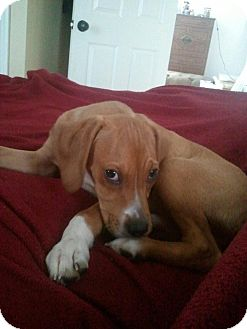 Boxer/Hound (Unknown Type) Mix Puppy for adoption in Morgantown, West Virginia - Max