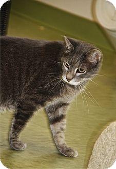 Domestic Shorthair Cat for adoption in Gloucester, Massachusetts - Radio