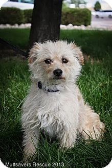 Terrier (Unknown Type, Small) Mix Dog for adoption in Broomfield, Colorado - Dr. Oz