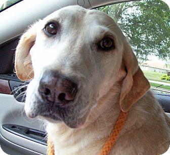 Labrador Retriever Dog for adoption in Marseilles, Illinois - Tess