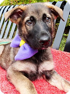 German Shepherd Dog/Shepherd (Unknown Type) Mix Puppy for adoption in Detroit, Michigan - Choncey-Adopted!