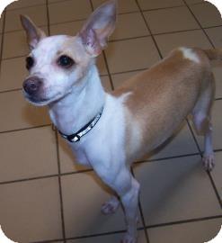 Italian Greyhound Mix Dog for adoption in Jackson, Michigan - Bella