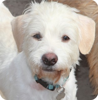 Poodle (Miniature)/Terrier (Unknown Type, Small) Mix Dog for adoption in Norwalk, Connecticut - Clarence