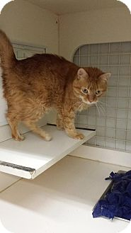 Domestic Shorthair Cat for adoption in Anoka, Minnesota - Dominick