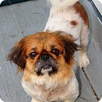 Adopt A Pet :: Chloe Girl - Richmond, VA
