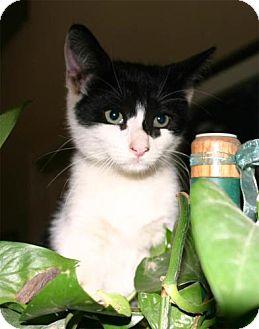 Domestic Shorthair Kitten for adoption in Salem, Oregon - Harvey -foster