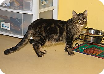 Domestic Shorthair Cat for adoption in Glendale, Arizona - MADISON