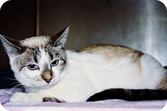 Siamese Cat for adoption in Fort Riley, Kansas - Dalia