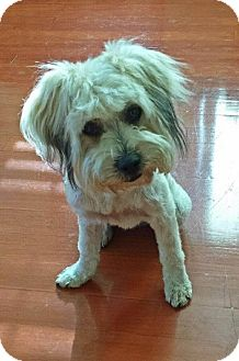 Maltese/Poodle (Toy or Tea Cup) Mix Dog for adoption in Mesa, Arizona - BUFFY 2 YR OLD FEMALE @PETCO