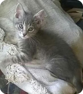 Domestic Shorthair Kitten for adoption in Hillside, Illinois - Connor - 11 WEEKS