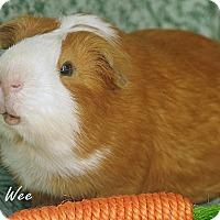 Adopt A Pet :: Pee Wee - Santa Barbara, CA