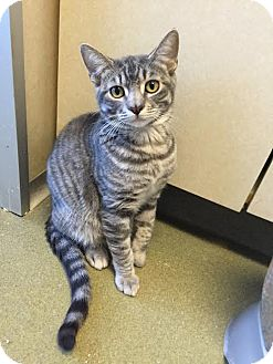 Domestic Shorthair Cat for adoption in Westminster, California - Camel