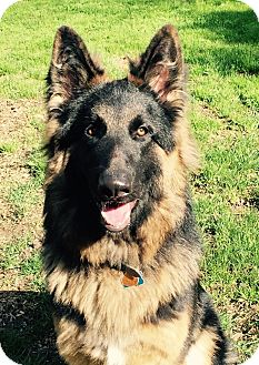 German Shepherd Dog Mix Puppy for adoption in Walnut Creek, California - Blue