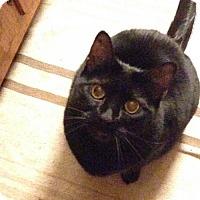 Adopt A Pet :: Shyanne - Harrisonburg, VA
